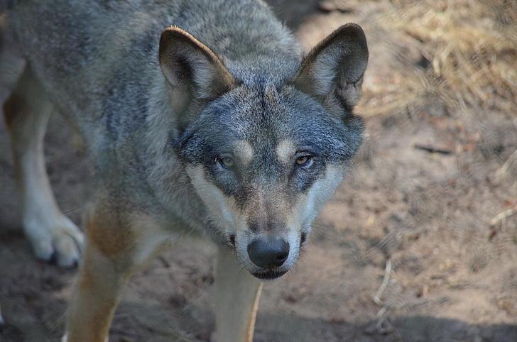 llop, Predator, animal, animal salvatge, Deer park, Parc, llop ferotge