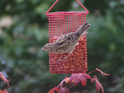 sparrow, bird, claws out, bird seed