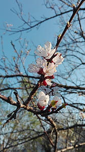 apricot blossom, fruit tree, blossom, bloom, spring, white, white blossom