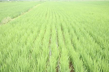 riisipõld, roheline, koorimata, põllumaad, Välibassein, Aasia, põllukultuuride
