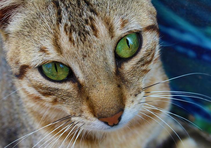 mačka, oči, Zelená, tvár, PET, zviera, pozrieť sa, vyzerať