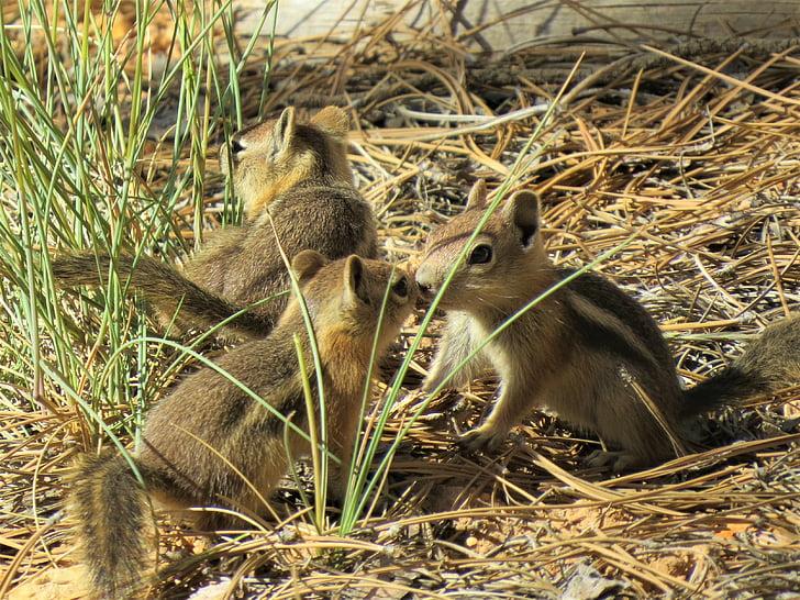vjeverice, glodavci, smeđa, Utah, Bryce canyon, životinja, biljni i životinjski svijet