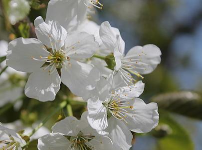 flors cirerers, blanc, flor, arbre en flor, floració, primavera, fons