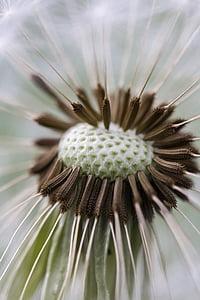 Púpava, makro, Príroda, Zavrieť, kvet, kvet, rastlín