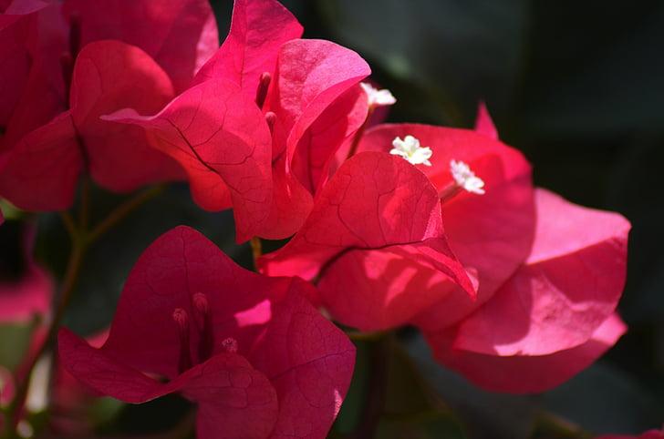 бугенвиллеи, Цветы, Природа, Фушия, розовый, Летние цветы, растения