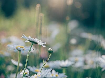 Aster, Daisy, Gerber, alam, liar, gurun, bunga