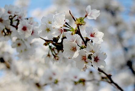 primavera, flor del cirerer, Sakura, flors