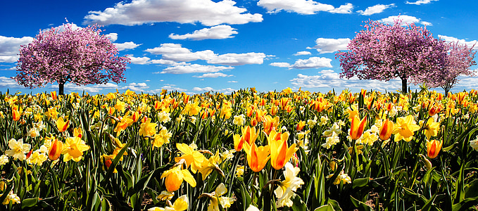 osterglocken, spring meadow, daffodils, spring, tulips, flowers, blossom