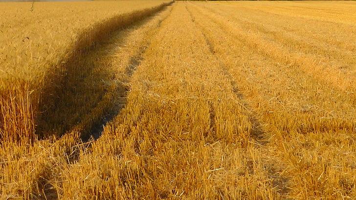 teraviljasaak, Viljapõllu, tera välja, saagi, väli, küps, saagikoristus