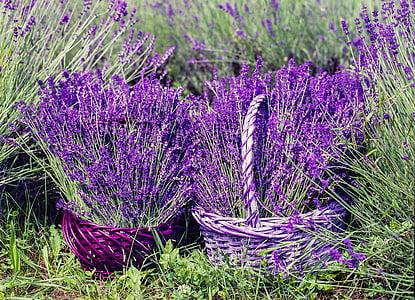 lavanda, cistella, natura, l'estiu, flor, natural, fragància