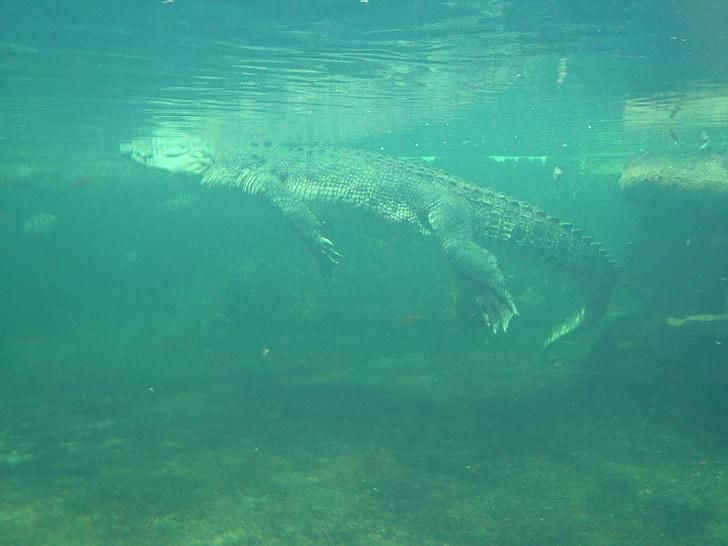 Cocodril surten a la superfície, Cocodril sota l'aigua, animals salvatges, rèptil, salvatge Austràlia vida