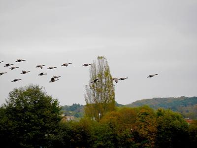 ocells, aus migratòries, oques, ökosee, oques salvatges, cel