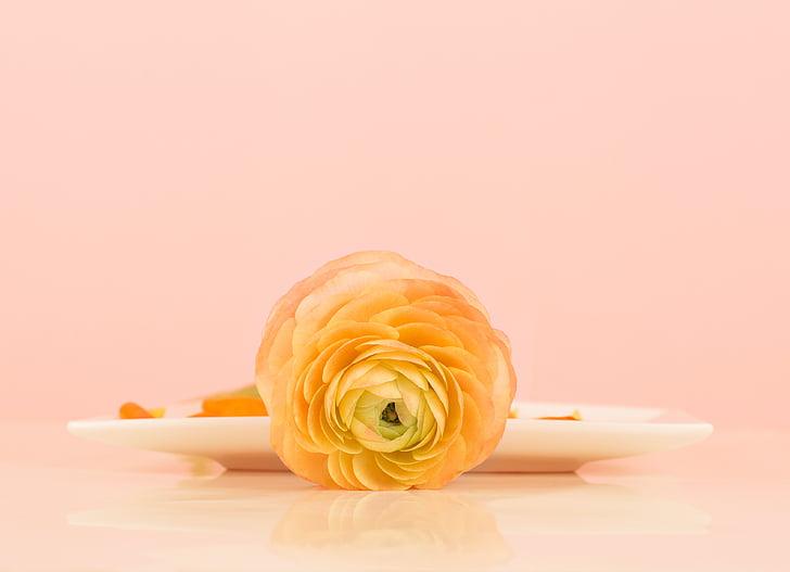 Ranunculus, bodegons, flor, flor, primavera, taronja, espai de còpia