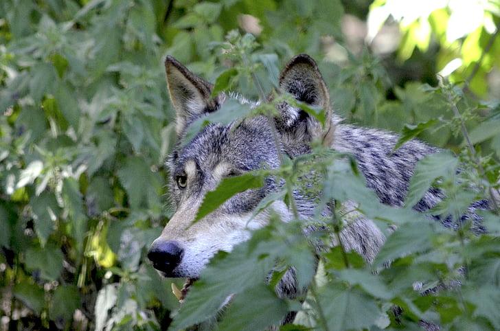 llop, a l'aguait, amagar, grup, manada de llops, bosc, Canis lupus