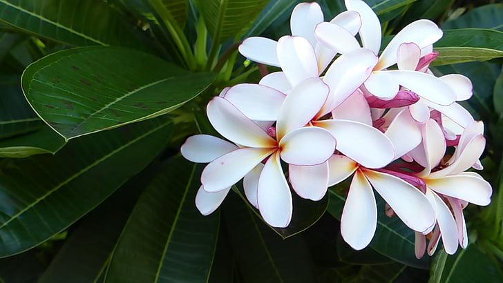 Frangipani, blomst, natur