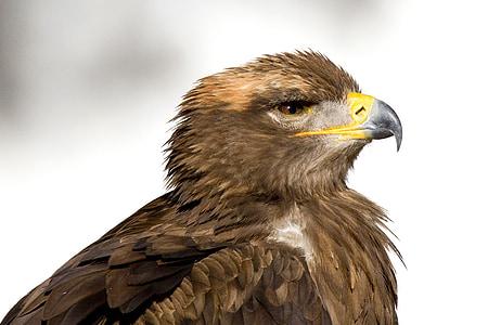bird of prey, steenarend, eagle, bird, zoo, beak