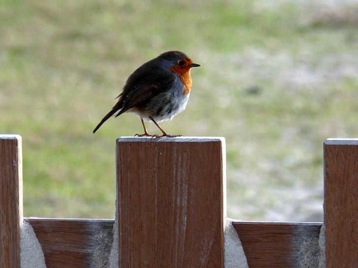 Robin, jaro, pták, ptáci