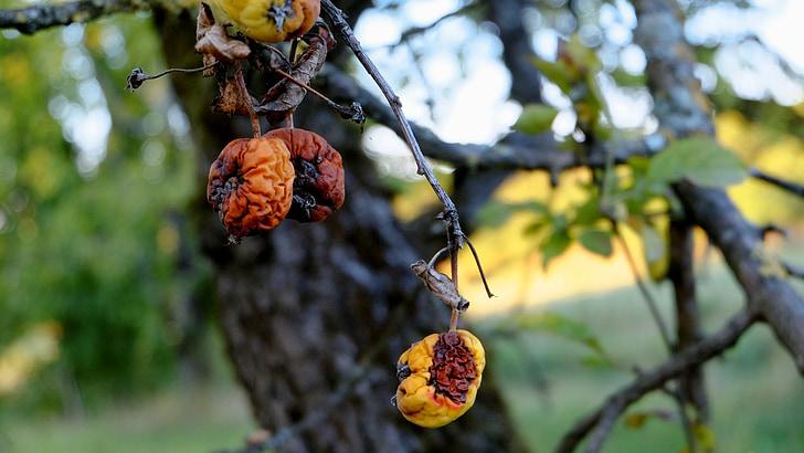 Apple, ziekte, fruit, vruchten rot, boom, herfst, Val