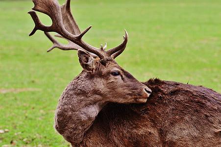 Wild, Hirsch, Wildpark poing, Luonto, Nuoret polttarit, Red deer, sakara harjoittaja
