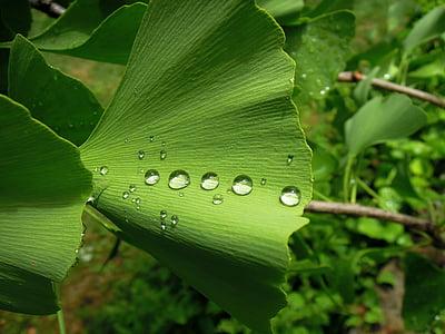foliage, ginkgo leaf, ginkgo, ginkgo biloba, fern pine, green leaf, green