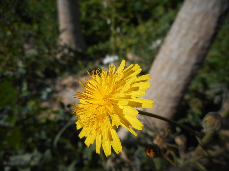 tand, van, Leon, bloemen, natuur, geel, Wild flower