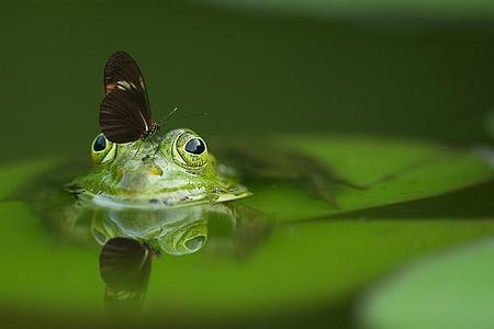 жаба, пеперуда, езерото, Отразявайки, природата, вода, отражение