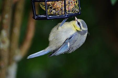 синигер, птица, птица семе, мазнини топки, емисия, зависи от, перушина
