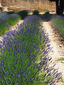 Levanda, gėlės, mėlyna, levandų laukas, levandų žiedų, levandų auginimas, žemės ūkis