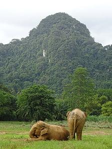 Tailàndia, elefant, natura, animal, tailandès, vida silvestre, Àsia