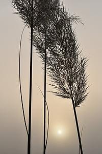 selloana, back light, sunrise, fog, morgenstimmung, mood, silhouette