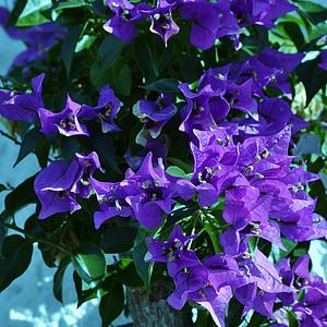 Bougainvillea, lila, virág, virágzó cserje, kert, nyári, gyönyörű