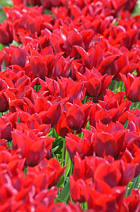Tagy red, tulipány, severozápad, Washington, kvet, fialová, Skagit