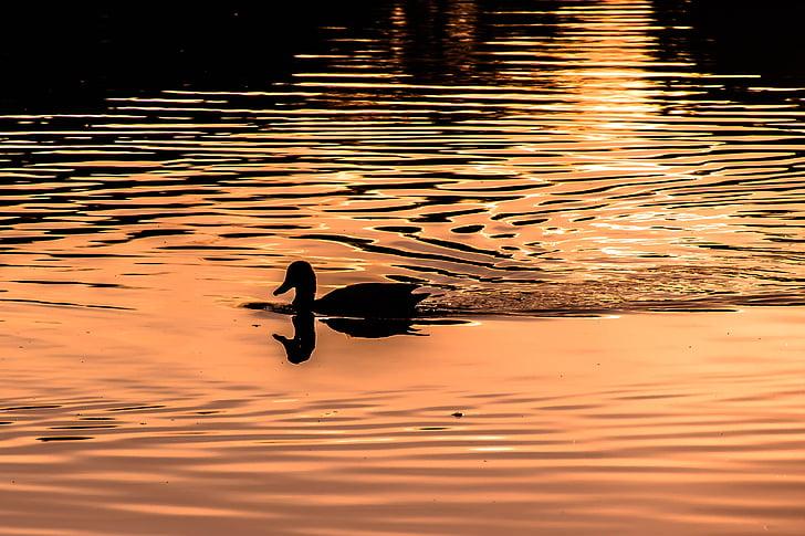 l'aigua, ona, a la llum del capvespre, ànec, reflectint, ondulatori, aigües