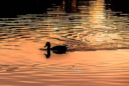 вода, вълна, в светлината вечер, патица, Отразявайки, Вълново движение, води