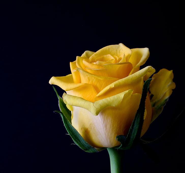 flor rosa, flors, planta, Roses, groc