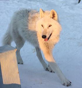 greenland husky, canine, snow, winter, dog, animal, wolf