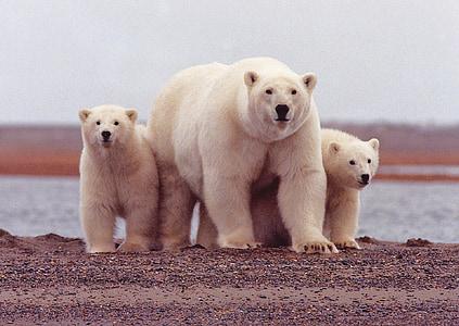 female, cubs, wildlife, summer, sow, nature, wild