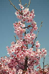 våren, blomst, rosa, hvit, blomster, Forresten våren, natur