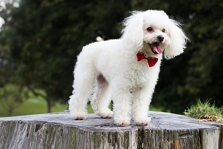 Caniche, cadell, gos, feliç, animals de companyia, un animal, animals domèstics