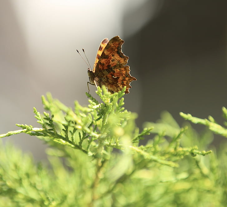 dzīvnieku, tauriņš, kukainis, daba, spārnu, dārza