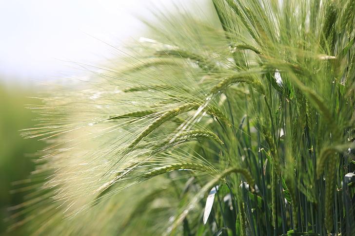 cereal, nature, crop