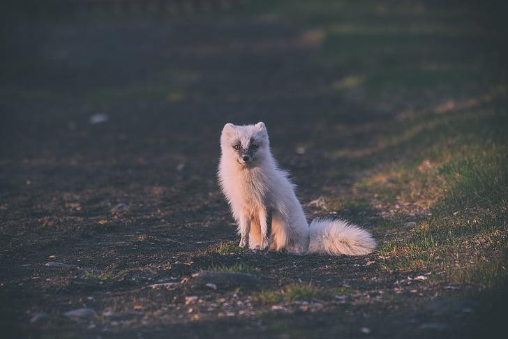 wolf, animal, nature, field, outdoor, wildlife, green