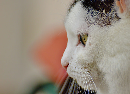 cat, mieze, domestic cat, animal, pet, funny, black and white