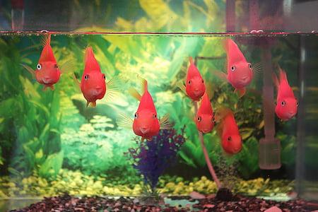 somriure, peix, Aquari, obrir el cor, feliç, Tancs de peixos, natura