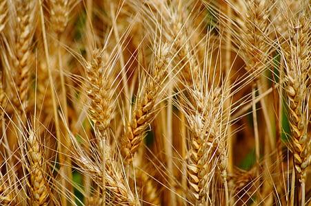 wheat, fields, cereals, epi, agriculture, durum wheat, harvest