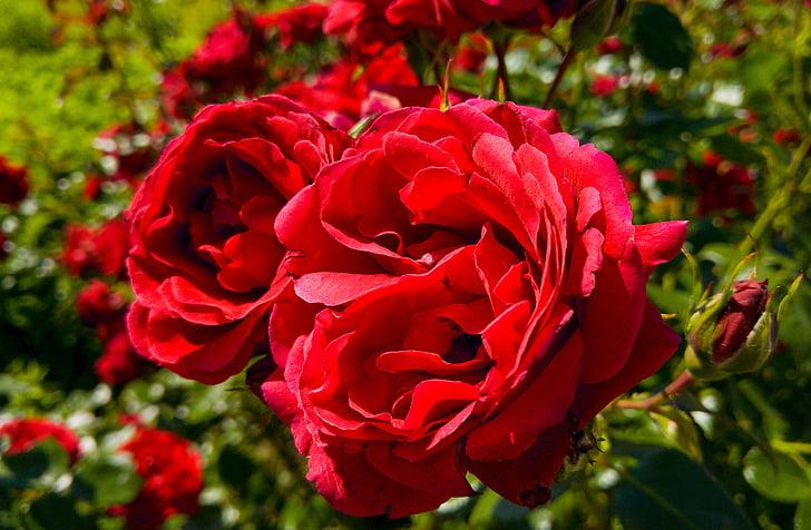 กุหลาบ, ดอกไม้, ดอกไม้ดอกกุหลาบ, กลีบกุหลาบ, แมโคร, สีแดง