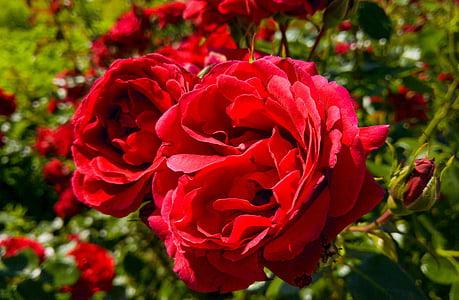 Rosa, flor, flor rosa, pètals de Rosa, macro, vermell