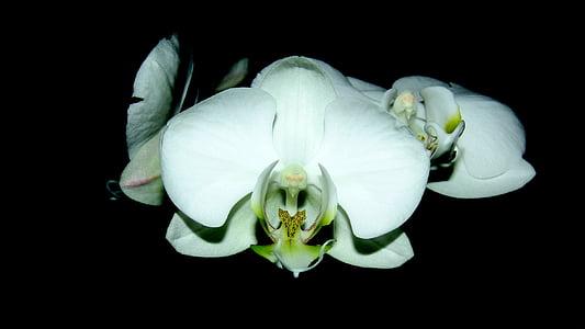 Orchid, ruumi tehase, valge lill, lill, mustal taustal, värskuse, valget värvi