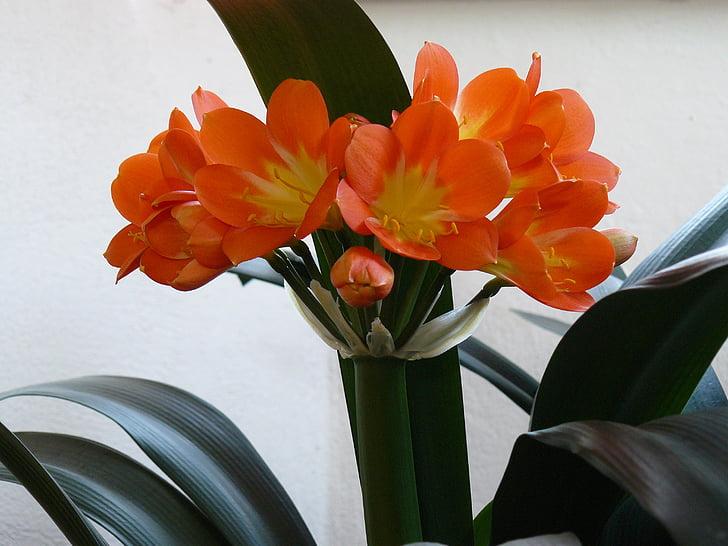 flor, clivia, plaer, clivia miniata, taronja