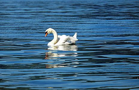 gulbis, dzīvnieku, ūdens putnu, lepnums, plosti, ezers, peldēšana